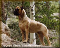 "AKC CH. Shady Oaks Days of Glory, C.D. ""Daisy"" - Bred by: Pam Kochuba, Shady Oaks - Owned By: Linda Thompson, Gemstone Bullmastiffs.  So what does a Purebred Bullmastiff that abides by the Original Great Britain and American Standards look like?  Check it out!"